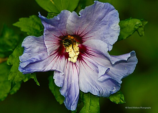 Blue Hibiscus (Flor de Jamaica) by David's Photoshop