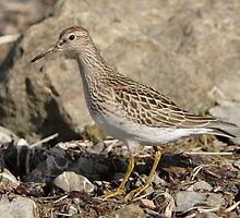 The Pectoral Sandpiper 02 by DigitallyStill