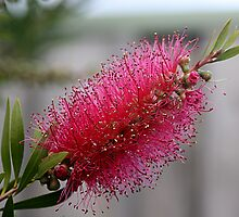 Callistemon (Pink Bottle Brush ) by TeAnne