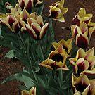 Tulips..Gavota Variety by judygal