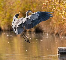 Great Blue Heron Landing by David Friederich