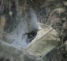 Spider in the web by Camberleigh Myers