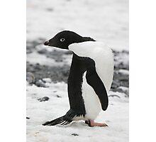 Adelie Penguin Photographic Print