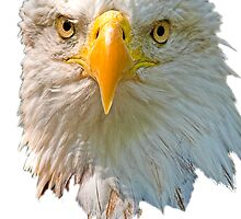 Head of Bald Eagle by Dave  Knowles