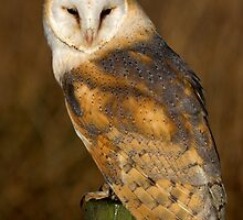 Barn owl on post in early evening sun by Dave  Knowles