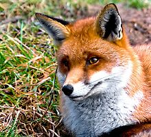 Thoughtful Fox by Dave  Knowles
