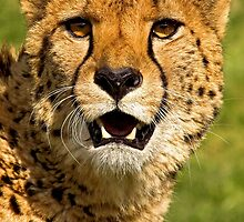 Cheetah by Dave  Knowles