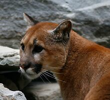 Cougar Two by GPMPhotography