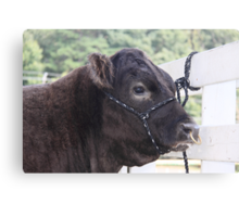 Punk Cow With Nose Piercing  Canvas Print