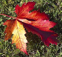 Red leaf by Steve plowman