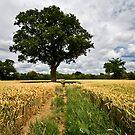 A path through wheat, Downside, Cobham by Rachael Talibart