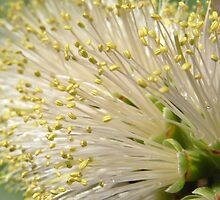 callistemon by Floralynne