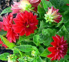 """Red Dahlias"" by franticflagwave"
