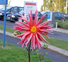 """Thriving Dahlia""--Clonmel Hospital[Please View Larger] by Pat Duggan"