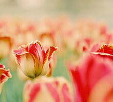 tulips 2 by sweetbliss