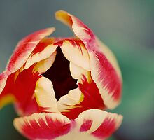 tulips 6 by sweetbliss
