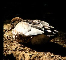 Sleeping Duck by angbet31