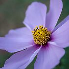 Cosmos by KDPhotos
