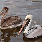 Brown Pelicans by Amy Boddie