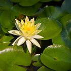 Water Lily by awgilmore