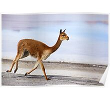 vicuna trot Poster