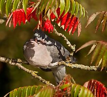 Wood pigeon in sumac tree by Dave  Knowles