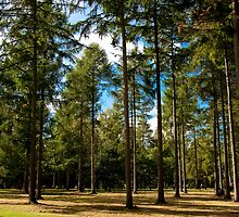 English Pine woodland by Dave  Knowles