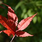 Japanese Oak Leaf by chianing