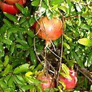 Pomegrantes by DeborahDinah