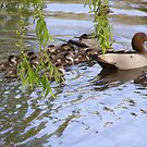ME OH MY! WHAT A BROOD. Wood ducks & ducklings. by Rita Blom