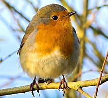 Robin Redbreast by Dave  Knowles