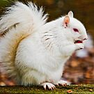 Albino Grey Squirrel by Dave  Knowles