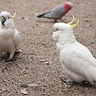 Cockatoo chat by JenniKate Wallace