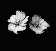 Two White Flowers by Suzanne Spangberg