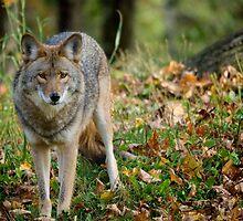 Dangerous Coyote by Gisele Bedard