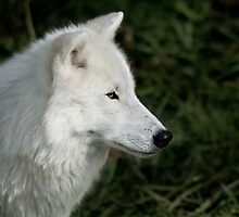 White Wolf by Gisele Bedard