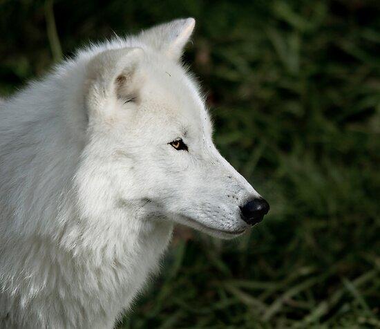 White Wolf by Gisele Bedard