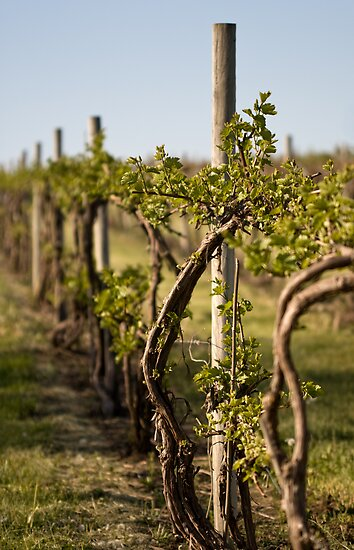 The Vineyard by Ebbers