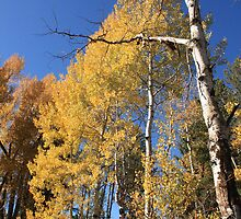Aspens in Fall by Andrea Jehn Kennedy