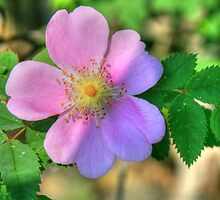 wild rose by axieflics