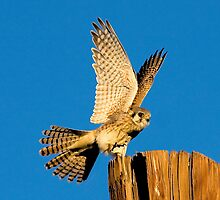 1017092 American kestrel by Marvin Collins
