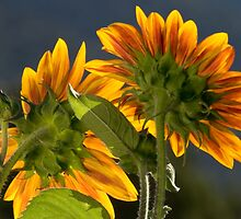 Backlit Backside Sunflower by DonnaBoley