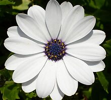 Beautiful Blossoming White Osteospermum by taiche
