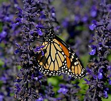 Monarch on Purple Flowers by Colleen Drew
