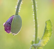 Poppy Bud by Sarah-Jane Covey