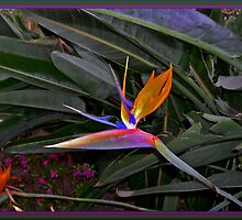 Bird Of Paradise by jecnc