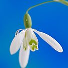 Snowdrop by Sarah-Jane Covey