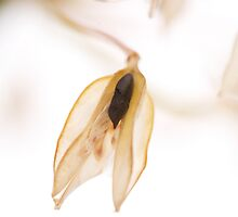 Agapanthus Seed by Sarah-Jane Covey