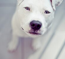 Oscar the American Staffordshire Terrier by ruthlessphotos