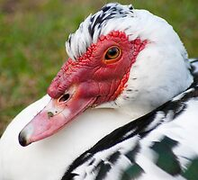 Muscovy Duck (Ely) by evilcat